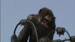 WATCH: Video of Escaped Chimp on Power Lines in Japan