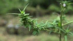 SALUD: Marihuana medicinal hace su entrada en Tailandia