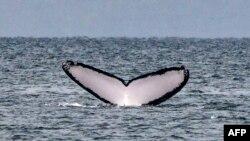 រូបឯកសារ៖ កន្ទុយត្រីបាឡែនអំបូរ humpback ត្រូវបានគេឃើញនៅលើផ្ទៃទឹកនៃមហាសមុទ្រប៉ាស៊ីហ្វិក នៅកោះ Contadora ក្នុងប្រទេសប៉ាណាម៉ា កាលពីថ្ងៃទី១៣ ខែកក្កដា ឆ្នាំ២០១៩។