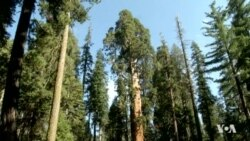 Long Drought Affecting California's Sequoias