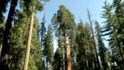 Long Drought Affecting California's Sequoias