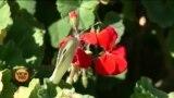 باجوڑ: جنگلی زیتون کے درختوں سے معیشت میں ترقی کی کوشش