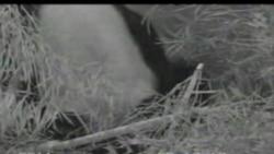 小熊貓在美國華盛頓動物園出生