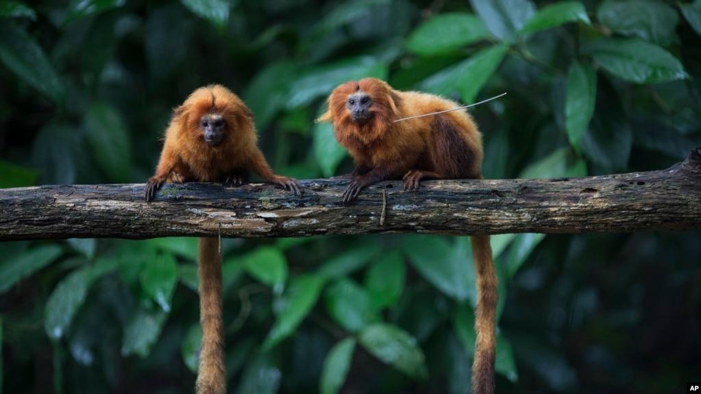 Brazil: Shpyllëzimi vë në rrezik pemët dhe qeniet e pyllit tropical të Atlantikut