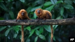 Golden lion tamarins sit on a tree limb (or branch) in the Atlantic Forest in Silva Jardim, state of Rio de Janeiro, Brazil, April 15, 2019. (AP File Photo)