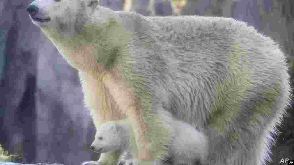 오스트리아 비엔나의 동물원에서 북금곰 모자 함께 걷고 있다.