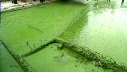 Researchers Harness the Power of Algae to Generate Really Green Energy
