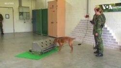 軍犬通過訓練可以幫助識別新冠病毒感染者嗎?