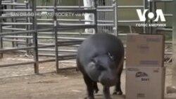 Карликовий бегемот з притулку для тварин у Сан-Дієго святкує 47-ий день народження. Відео
