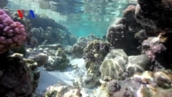 Saving the World's Coral Reefs (VOA On Assignment May 30, 2014)