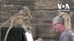 Піаніст дає концерти для мавп у Таїланді. Відео