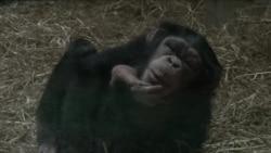 专家称中国成黑猩猩非法贸易最大目的地