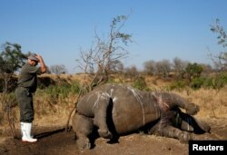 FILE - A ranger gestures to a rhino after it was killed for its horn by poachers in South Africa's Kruger National Park, Aug. 27, 2014.