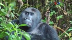 Gorilas são prato apetecível para caça ilegal