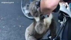 Gấu koala xin người cho nước uống