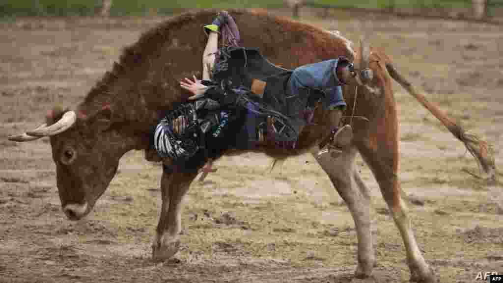 미국 텍사스주 밴더라에서 열린 미니 황소 대회에서 10살 소년이 황소에 매달려 있다.
