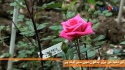 گلاب کی ہزاروں اقسام والا باغ