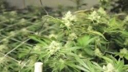 Colorado: Posao malih poduzetnika cvjeta nakon legalizacije marihuane