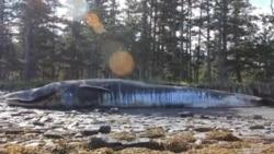 На Аляске стало гибнуть в три раза больше китов
