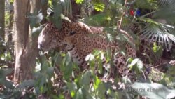 Así se protege a los jaguares en Guatemala