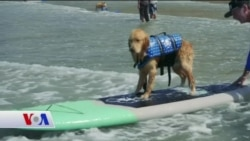 Yalnızca İnsanlar Değil Köpekler de Sörf Yapıyor