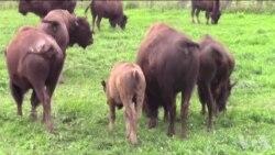 野牛让天然草原得到恢复