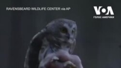 Історія Роккі – сови з різдвяної ялинки. Відео