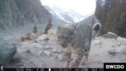 Conservation efforts leading to rise in snow leopard population in northern Pakistan (Courtesy: BWCDO)