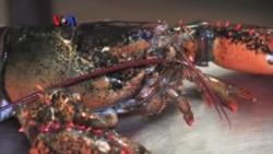 Lobster Maine Bintangnya Hidangan Imlek