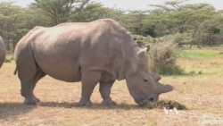 Can Science Save a Rhino on Brink of Extinction?