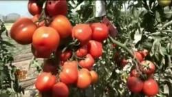 پاکستان میں ہائبرڈ ٹماٹر، کیا نیا بیج مقامی ضروریات پوری کر سکے گا؟