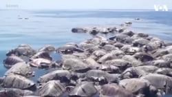 300 rùa quý hiếm chết dạt vào bờ biển Mexico