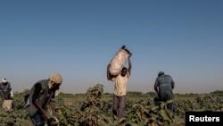 Seorang petani mengumpulkan terong bersama pekerjanya di sebuah ladang di Pulau Tuti, Khartoum, Sudan, 14 Februari 2020. (Foto: Reuters)