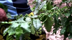Growing Coffee in Laos Highlands Provides Alternative to Opium Poppies