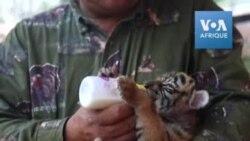 En pleine quarantaine, un bébé tigre nommé Covid