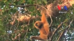 Gibbons Conservation Attracts Tourists to Rattanakiri Province