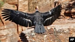 In this May 13, 2019 file photo provided by the National Park Service a female condor takes flight in Zion National Park, Utah.
