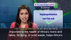 Anh ngữ đặc biệt: Hippos - The Life Force of African Rivers (VOA)