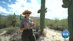 Saguaros: Arizona's Iconic Cacti