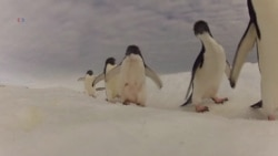 Penguins a Barometer for Ocean Health