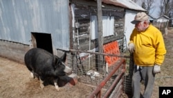 In this April 17, 2020, photo, Chris Petersen looks at a Berkshire hog in a pen on his farm near Clear Lake, Iowa. COVID-19, the disease caused by the coronavirus, has created problems for all meat producers, but pork farmers have been hit especially hard