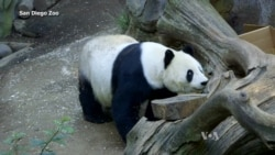 San Diego Zoo Giant Panda Turns 24