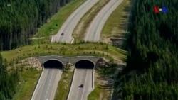 Meşə heyvanlarını avtomobil yollarından uzaq saxlayan körpülər