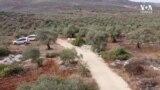 Filistinli Gençler Çiftçilerle Zeytin Hasadında