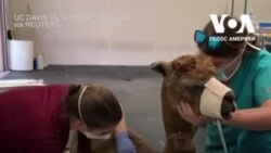 Ветеринари лікують тварин, постраждалих під час пожеж в Каліфорнії. Відео