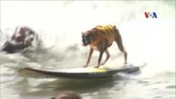 Cuộc thi lướt sóng dành cho chó ở California