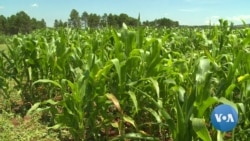 UN Fears Armyworm Outbreak Will Worsen Zimbabwe's Food Insecurity