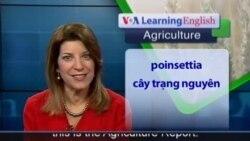 Anh ngữ đặc biệt: Poinsettias (Ag-Rep)
