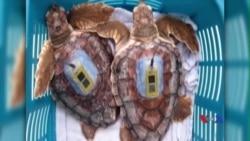 Nghiên cứu giải mã những năm tháng sống dưới biển của rùa