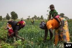 FILE - Women work at an onion field near Gazawa on March 7, 2020.